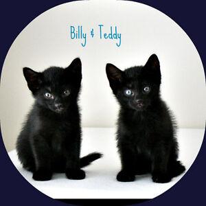 MEET BILLY & TEDDY..10 WK.KITTENS...FIXED/SHOTS