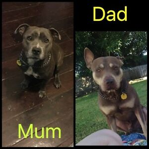 Pure bred staffy X pure bred red nose Lissner Charters Towers Area Preview