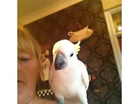 Yellow crested cockatoo for sale,reluctant sale