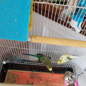 3 budgies perruches with cage avec cage