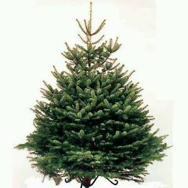 Real 6ft Christmas trees Inc base and free delivery