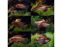 Kribensis F2 (pelvicachromis taeniatus)