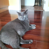 Handsome Male Blue Russian Cat to FREE loving home