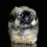 SOLD - Pékinois - Pekingese / Reg. C.K.C. Parents