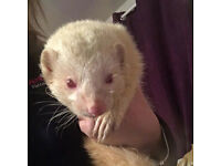 Missing Ferrets Woking GU21 - Reward Available