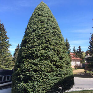 AFFORDABLE TREE PRUNING AND HEDGE TRIMMING London Ontario image 2