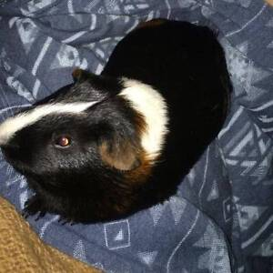 Male guinea pig Chittaway Point Wyong Area Preview