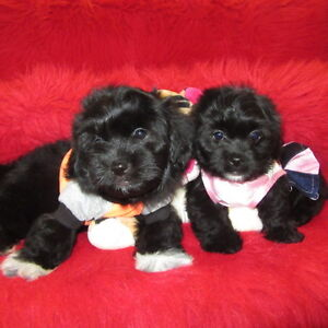 Chiots morkie cr