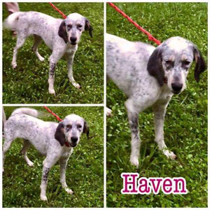Niagara Dog Rescue - Haven is Sweet and Gentle