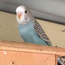 Baby budgies Theodore Tuggeranong Preview
