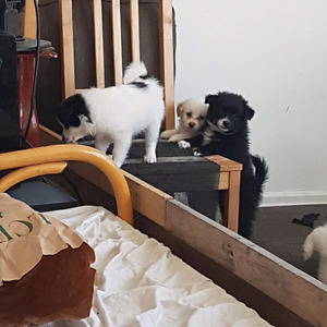 Pomeranian / toy poodle hybrid - Pomapoo