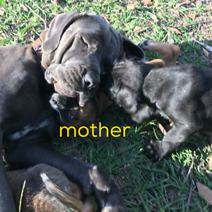Bandog X Wolfhound pups *6 LEFT* Caboolture Caboolture Area Preview