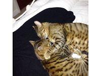 2 PEDIGREE BENGAL CATS (BROTHERS)