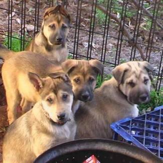 Shar Pei X Malamute Puppies Acacia Gardens Blacktown Area Preview