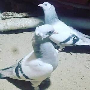 Lost Turkish Tumbler Pigeon Broadmeadows Hume Area Preview