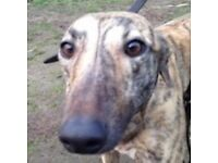 Greyhounds needing loving homes in Buckinghamshire, Oxfordshire, Berkshire or Wiltshire