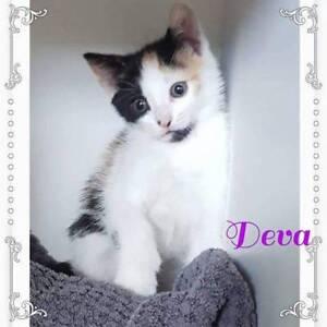 Deva~Furnissdale Rescue Kitten