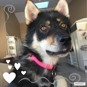 Paws for Love dog rescue has a 1 year old husky/sheph female