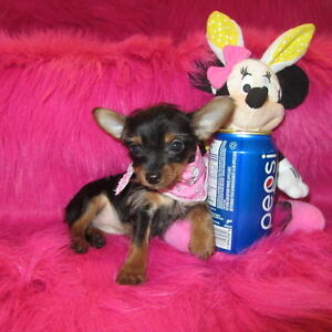 Chiot yorkshire terrier cr