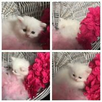 CHAMPION BLOODLINE REGISTERED PERSIAN/HIMALAYAN KITTENS^..^!!!