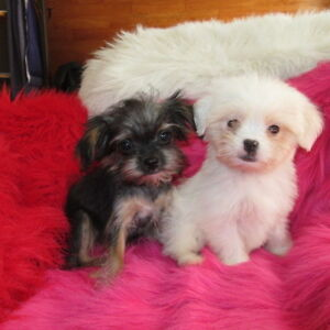 Toy & T-cup morkie puppies