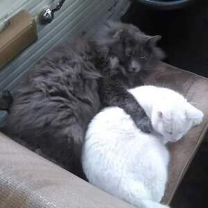 Two healthy, affectionate, intelligent cats..free