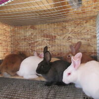 Rabbits / Bunnies For Sale