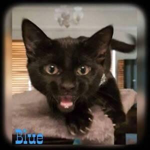 Blue~Rescue Kitten~Vet Work Included