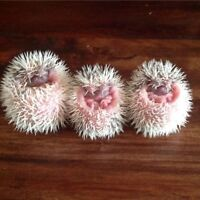 Pinto baby hedgehogs.