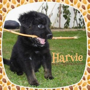 """Young Male Puppy - Small Mixed Breed: """"Harvie"""""""