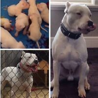 Pure Bred Argentino Dogo Puppies