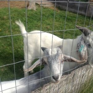 Buck for sale(billy goat)