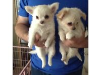 Adorable Chihuahua puppies.