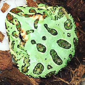 LQQking for a * Peppermint * Pacman Frog