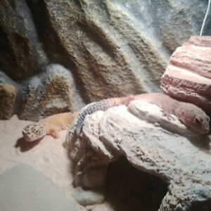 ♥ Leopard Geckos with Full Setup ♥ $80 OBO to Good Home