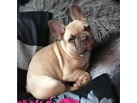 Chocolate Sable French Bulldog for sale