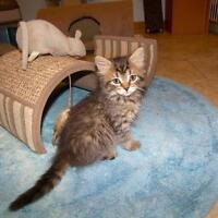 "Young Female Cat - Domestic Medium Hair: ""Prissy"""