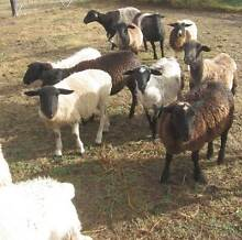Cross Bred Ewes in Lamb to Dorper Ram Adelong Tumut Area Preview