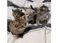 Beautiful bengal cross kittens sold pending collection