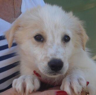 Kelpie X Border Collie Puppy Border Collie For Sale Australia For ...