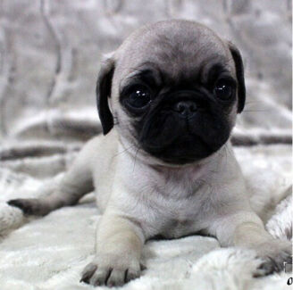 Wanted: I want pug