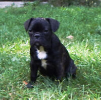 Adorable French Bulldog females puppies ready to meet