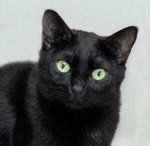"""Adult Female Cat - Domestic Short Hair: """"Dezzy"""""""