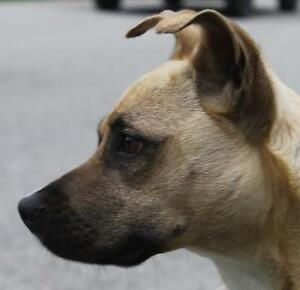 "Adult Male Dog - Shepherd-Boxer: ""Bernie"""