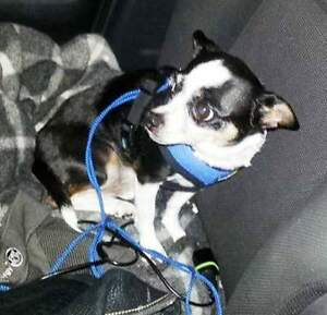 "KLAWS:""Montie"" Chihuahua male lost Eagle Lake Rd/ Haliburton Rd"