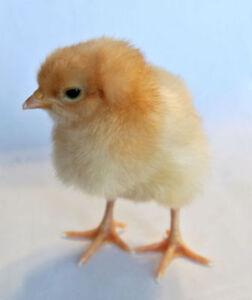 Buff Orpington Chicks & Fertile Hatching Chicken Eggs