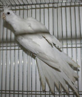 White face and pearl pied cockatiels