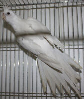 Double pied White face