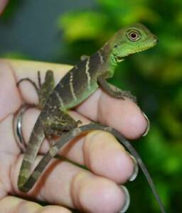 Baby Water Dragons and Mountain Dragons (sold only in groups)