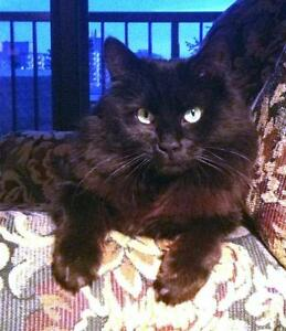 """Adult Male Cat - Domestic Long Hair: """"Niles"""" Downtown-West End Greater Vancouver Area image 1"""